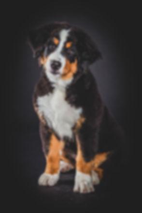 Dierenfotograaf Nikki van Studio86 te alphen aan den rijn, helpt jou graag met het maken van een mooie portretfoto van jouw hond. Professional animal photographer made this photo of a puppy dog in her photo studio.
