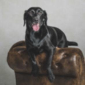 Deze dieren fotoshoot is geboekt bij een professionele dierenfotograaf. Nikki Hoff specialiseert zich in dierenfotografie zodat jij met jouw hond op de foto kan. Een fotoshoot met jouw hond boek je dan ook bij fotostudio Studio86 in Alphen aan den Rijn. Hier ligt de zwarte hond over de leuning van de chesterfield bank heen.