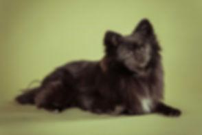 Deze zwarte pomeriaan spitz is gefotografeerd door dierenfotograaf Nikki Hoff van Studio86.nl Deze olijfgroene achtergrond is een mooie natuurlijke kleur die het goed doet tijdens een fotoshoot van jouw hond. Cute black little dog on a olive green background. Professional studio photography of your dog you can book at Studio86.nl