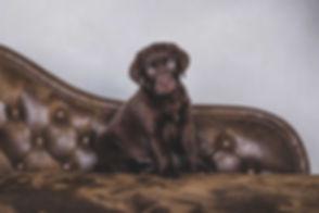 Deze bruine labrador puppy zit op een bruine chesterfield bank. Deze foto is gemaakt door hondenfotograaf Nikki Hoff van fotostudio Studio86. Wil jij ook een fotoshoot met jouw hond boeken bij een bekende dierenfotograaf? Maak dan nu een reservering voor een hondenshoot.