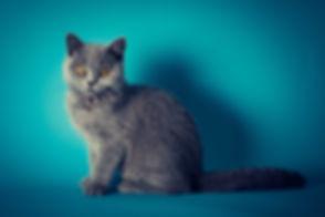 Blauwe Britse korthaar gefotografeerd in de fotostudio op een blauwe achtergrond. British shorthair photographed by a professional photographer in the photo studio.