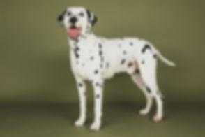 Deze dalmatiër is door een professionele dierenfotograaf gefotografeerd. In de fotostudio zijn diverse achtergronden aanwezig waaronder deze olijfgroene kleur die ontzettend mooi bij deze hond staat. This Dalmatian is photographed on a olive green background during a professional animal shoot.