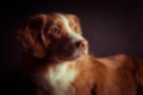 Een close up foto van een toller gemaakt door een bekende dierenfotograaf in de studio. Wil jij ook een dieren fotoshoot boeken? Dan is Nikki jouw dierenfotograaf in Zuid Holland!