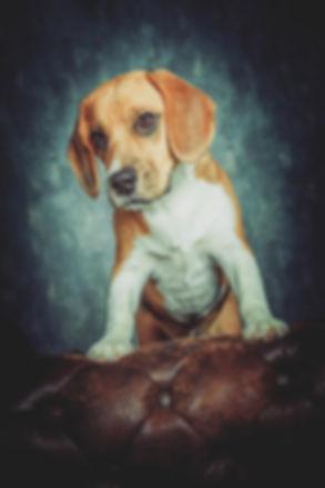 Schattige hond op bank. Deze professionele foto van hond is gemaakt in de fotostudio door de bekendste dierenfotograaf van Zuid Holland. Cute dog on a couch. This professional photo of dog is made in a photostudio by the famous animal photographer Nikki.