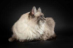 Wat is de prijs van een fotoshoot van mijn kat is een veelgestelde vraag. Je kan alle prijzen vinden op de website, www.studio86.nl. Deze kat ligt lekker op een zwarte achtergrond en is gemaakt in de fotostudio door bekende dierenfotograaf Nikki. Professional cat photography in the studio.