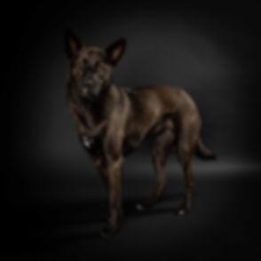 Deze prachtige portretfoto van hond is gemaakt tijdens een fotoshoot hond in de studio. Bekende dierenfotograaf Nikki is gespecialiseerd in dierenfotografie zoals honden en katten. Studio photography of a dog.