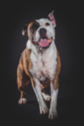 Wil jij ook zo'n professionele portretfoto van jouw hond laten maken? Bij Studio86 word er dierenfotografie aangeboden en zullen we gebruik maken van diverse settings. Happy dog photographed in the photo studio.