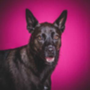Deze blije hond is tegen een knalroze achtergrond gefotografeerd. Een mooie portretfoto van een hond. Wil jij een fotoshoot met jouw hond boeken? Deze fotoshoot kan ook op zondag worden ingepland! Deze fotostudio zit in Zuid Holland en is makkelijk bereikbaar. Photoshoot dog with a pink background. Happy dog.