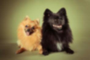 Deze pomeriaan spitz hondjes zijn gefotografeerd in fotostudio Studio86 te Alphen a/d Rijn. Op deze olijf groene achtergrond komen ze goed naar voren en word het een vrolijke foto. Vooral omdat de hondjes ook lachen! This Pomerian spitz dogs are photographed by famous dog photographer Nikki in her photostudio. These dogs are smiling in the picture.
