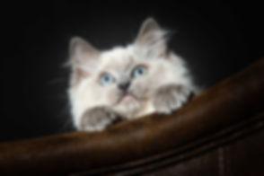 Hier zie je een Ragdoll kitten die met haar pootjes over de leuning van de Chesterfield bank zit en omhoog kijkt. Deze professionele dierenfoto is gemaakt door dierenfotograaf Nikki van Studio86. Wil jij ook een fotoshoot van jouw kat boeken? Boek deze dan bij deze dierenfotograaf!