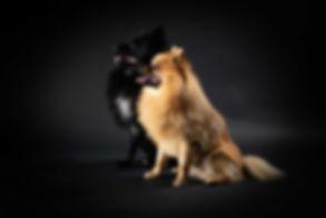 Deze brave hondjes kijken richting hun baasje wat ideaal is om een mooie foto van de zijkant te maken. Deze pomeranian spitz hondjes hebben het super goed gedaan tijdens deze fotoshoot hond. Two dogs photographed from the side looking into the light. Professional dog photography.