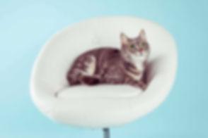 Hier zie je een kat op een witte stoel liggen. Gemaakt tijdens een fotoshoot kat in de fotostudio. Wil jij ook een kattenshoot boeken? De prijs van deze fotoshoot vind je op de website van Studio86.nl Cat photography made in the photo studio.