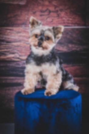 Een Yorkshire terrier op een blauw krukje gefotografeerd in de fotostudio. Voor professionele dierenfotografie ga je naar Studio86. Natuurlijk kan je hier dus ook een fotoshoot van jouw hond boeken.