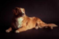 Ben jij opzoek naar een hondenfotograaf? Studio86 is biedt onder andere dierenfotografie aan binnen de fotostudio. Deze Nova Scotia Duck Tolling Retriever ligt hier op een zwarte achtergrond.