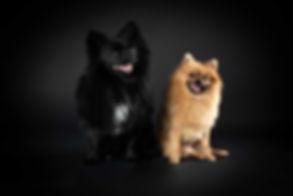 Wil jij een fotoshoot met jouw hondjes boeken in de regio Zuid Holland? Bekende dierenfotograaf Nikki Hoff van Studio86 helpt jou hier graag bij! Ze is gespecialiseerd in het fotograferen van honden en heeft ook deze pomeranian spitz hondjes ontzettend mooi op de foto weten te zetten. Two cute dogs photographed professionally in the photo studio of a famous dog photographer.