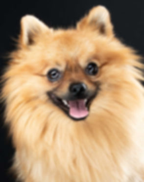 Close up van een vrolijke pomeranian spitz. Deze foto van hond is gemaakt door professionele dierenfotograaf Nikki Hoff. Doordat zij met flitslampen werkt kan ze jouw huisdier mooi uitlichten. Kijk eens hoe blij deze hond kijkt!  Close up of a happy dog! This photo is taken by a professional animal photographer. Because she works with flash lights, she can perfectly illuminate your pet. Look how happy this dog is!