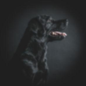 Door het tegenlicht in deze portretfoto, is hij bijna artistiek! Ik help jou graag bij het maken van een mooi portret van jouw hond of ander huisdier. Black dog (labrador) photographed against a black background. Made by this professional dog photographer.