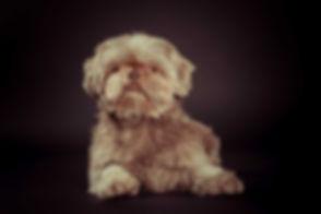 Een mooie dierenfoto van een hond die op de grond ligt op een zwarte achtergrond in de fotostudio. Wil jij ook een fotoshoot met digitale foto's boeken van jouw huisdier? Bekende fotografe Nikki is o.a. bekend om haar dierenfotografie. Jij kan een fotoshoot van jouw hond bij haar boeken in de studio.