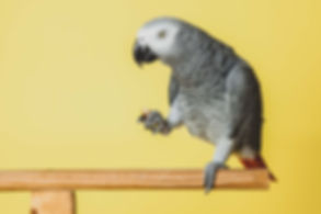 Deze papegaai is gefotografeerd op een gele achtergrond. Deze fotostudio heeft meerdere settings en richt zich ook op dierenfotografie. This grey parrot is photographed during a professional animal photoshoot in the studio on an yellow background. He is eating a peanut.