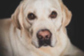 Close up van een labrador gemaakt in de fotostudio van Nikki Hoff op een zwarte achtergrond. Headshot of a blond labrador made in the photo studio by the famous animal photographer.