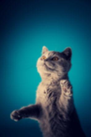Professionele dierenfotograaf heeft een springende Britse korthaar weten te vangen met haar camera. Wil jij ook een portretfoto laten maken van jou kat? Dat kan bij deze kattenfotograaf. Professional animal photographer made a photo of a jumping British Shorthair in the photo studio.