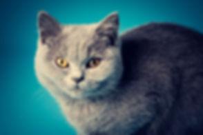 Close up portretfoto van een blauwe Britse Korthaar poes. Een mooie foto van jouw kat laten maken? Dat kan bij dierenfotograaf Nikki. Close up portrait of a blue British shorthair kitten.