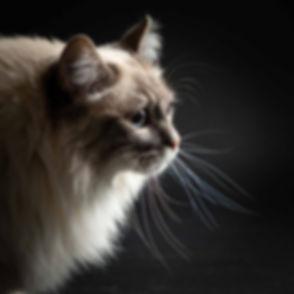 Close up portretfoto van een kat gefotografeerd tegen een zwarte achtergrond. Deze stoere kattenfoto is gemaakt door bekende dierenfotograaf Nikki Hoff. Een fotoshoot met kat kan ook op een zondag worden ingepland. Portrait photo of a cat.