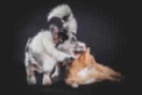 Wat een geluk dat deze hond en kat bleven zitten tijdens deze dierenfotoshoot! Nikki is de beste dierenfotograaf in Nederland! Dog bites cat in ear. Dog is playing with this cat. This is a professional photo made in the photo studio on a black background.
