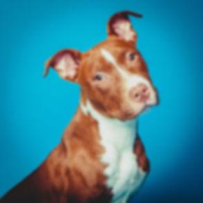 Deze hond is gefotografeerd in retro stijl! Wil jij ook een professionele foto van jouw hond laten maken? Neem dan contact op met dierenfotograaf Nikki van Studio86. Cute puppy dog photographed on a blue background.