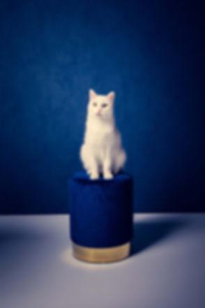 Deze witte kater steekt goed af bij de blauwe achtergrond en de kruk waar hij op zit. Dit is een professionele dierenfoto gemaakt door dierenfotografe Nikki Hoff. Nikki heeft een moderne fotostudio en die ideaal is om professionele foto's van huisdieren waaronder een kat te maken.