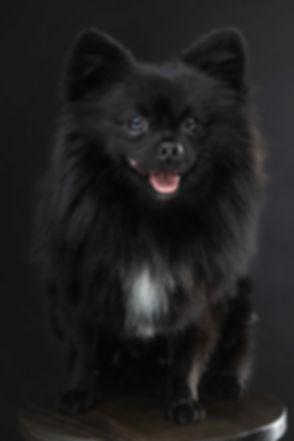 Wil jij een fotoshoot met jouw hond boeken? Tijdens een dierenshoot zal ik foto's van jouw hond alleen maken maar indien gewenst ook van jullie samen. Dit pomeranian spitz hondje zit op een kruk zodat ik gebruik kon maken van mijn reflectiescherm waardoor hij extra mooi uitgelicht word. Black dog photographed against a black background in the photo studio.