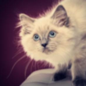 Een close up portretfoto van een kitten. Wil jij ook een professionele foto laten maken van jouw kat? Boek deze dierenfotoshoot bij bekende dierenfotograaf Nikki van fotostudio Studio86 in Alphen aan den Rijn. Voor de mooiste foto's van jouw huisdier kan je bij Nikki terecht.