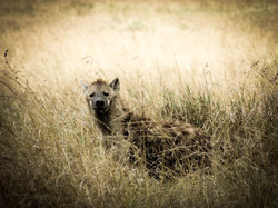 Confused Hyena