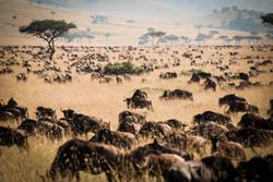 How many Wildebeests?