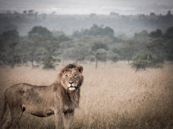 'King of the jungle'