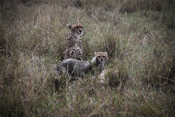 Cheetahs looking out into the wild