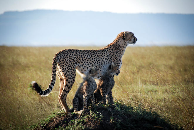 Cheetahs Looking out