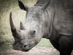 Rhino Zoomed