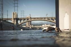 LA_River_Ducks