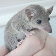 Short-tailed Opposum