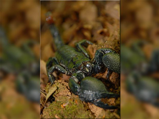 Imperial Scorpion