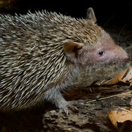 Greater Tenrec