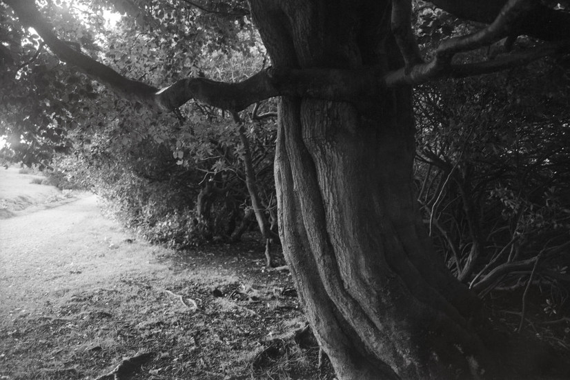 Old tree at Longshaw Estate - Route (2021)