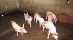 our recent addition - 6 piglets