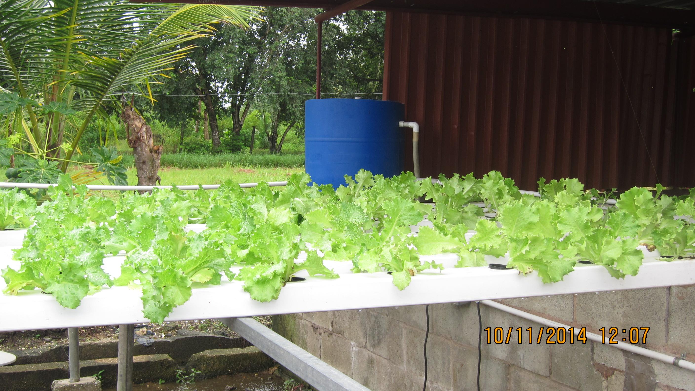 Aquaponics - Lettuce