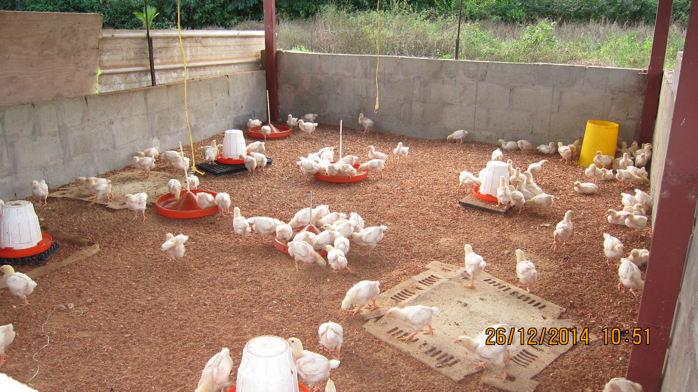 broilers chicks