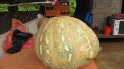 pumpkin from the farm