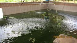 Tilapia Pond #1