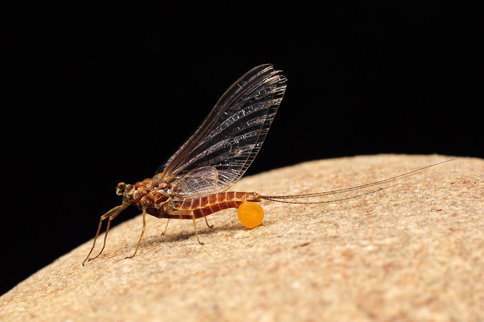 """Rusty Spinner"" Ephemerella subvaria"