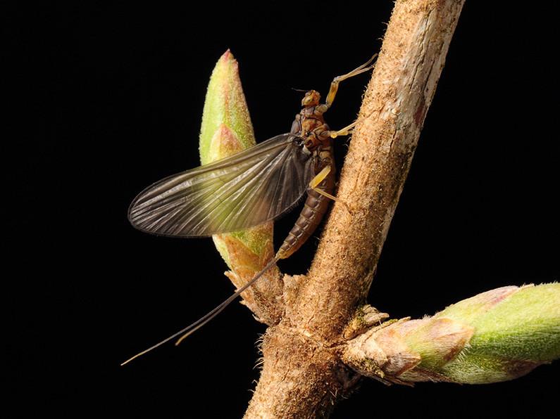 """""""Tiny Blue Wing Olive"""" Baetis tricaudatus"""